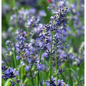 Lavandula angustifolia 'Blue Chip' ® - Vraie Lavande