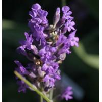 Lavandula angustifolia 'Naine Bleue' - Vraie Lavande