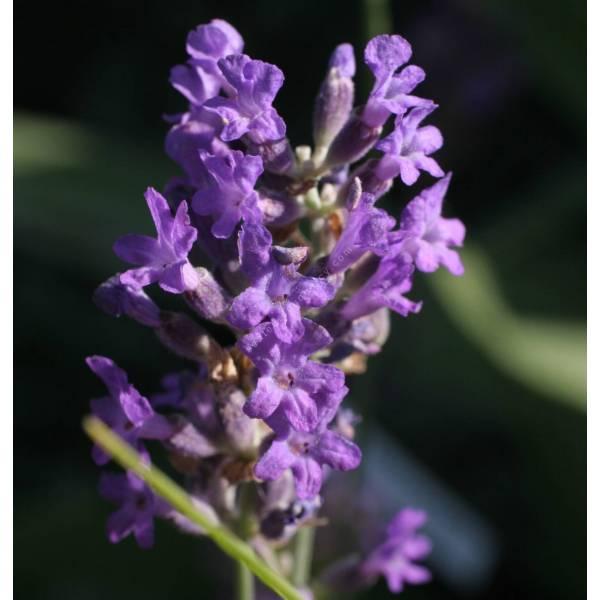 Lavandula angustifolia 'Dwarf Blue', Vraie Lavande