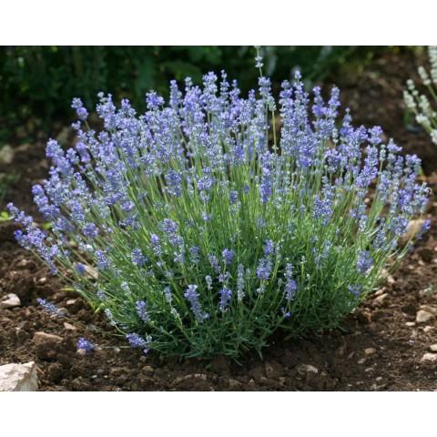 https://www.senteursduquercy.com/3295-thickbox/lavandula-angustifolia-granny-s-bouquet-vraie-lavande.jpg