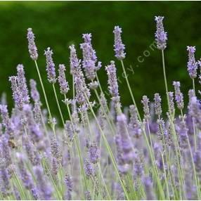 Lavandula x intermedia 'Fragrant Memories', Lavandin parfumé
