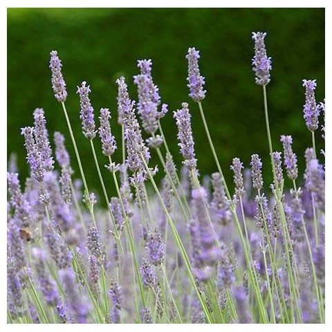 Lavandula x intermedia 'Fragrant Memories' - Lavandin parfumé