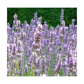 Lavandula x intermedia 'Old English', Lavandin
