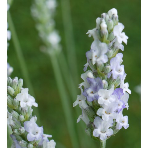 Lavandula x intermedia 'Heavenly Angel' ® - Lavandin blanc compact