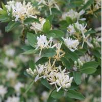 Lonicera fragrantissima - Chèvrefeuille odorant
