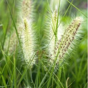 Pennisetum alopecuroides 'Compressum' - Herbe aux écouvillons