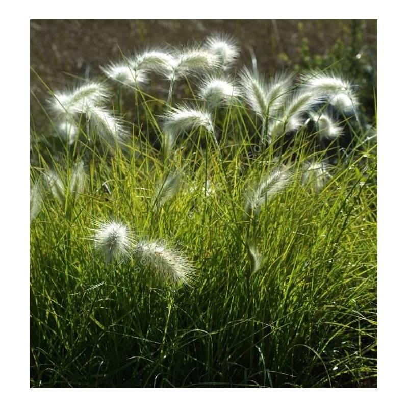Pennisetum villosum - Herbe aux écouvillons