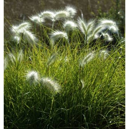 Pennisetum villosum, Herbe aux écouvillons