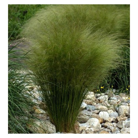 Nassella tenuissima - Stipa tenuifolia - Cheveux d'ange