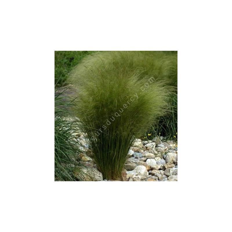 Nassella tenuissima, Cheveux d'ange