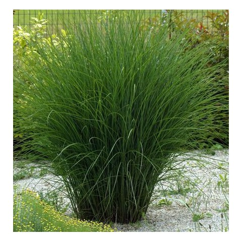 miscanthus sinensis 39 gracillimus 39 eulalie vente de. Black Bedroom Furniture Sets. Home Design Ideas