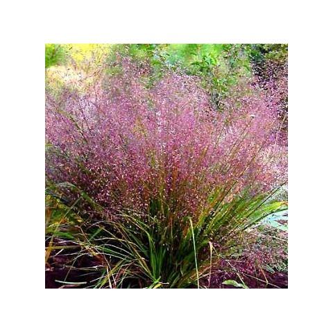 Eragrostis spectabilis - Herbe d'amour violet