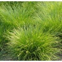 Carex muricata - Laîche