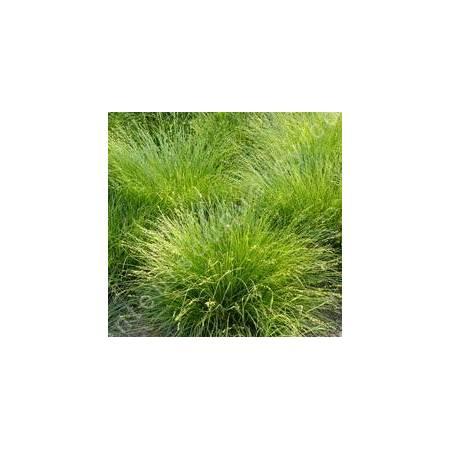 Carex muricata, Laîche