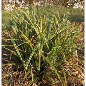 Carex pendula, Laîche pendante