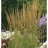 Calamagrostis x acutiflora 'Karl Foerster' - Calamagrostide