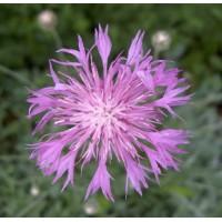 Centaurea simplicicaulis - Centaurée