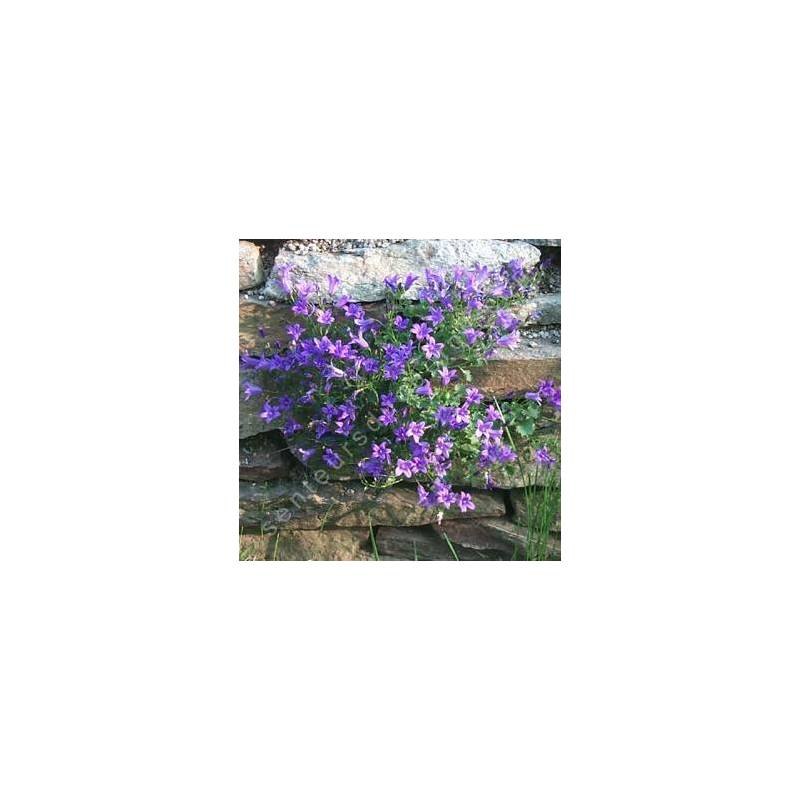 Campanula portenschlagiana, Campanule des murailles