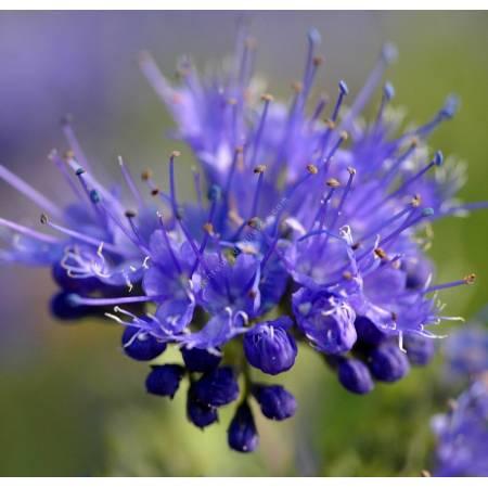 Caryopteris x clandonensis 'Kew Blue' - Barbe bleue