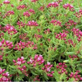 Plante Grasse Exterieur Rustique.Plantes Succulentes Rustiques Pour Pots Rocailles Et