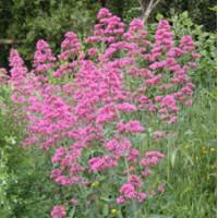 Centranthus ruber - Valeriane des murs - Lilas d'Espagne