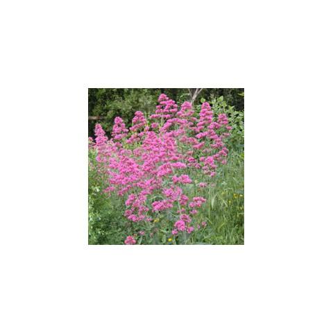 Centranthus ruber - Valériane des murs rose - Lilas d'Espagne