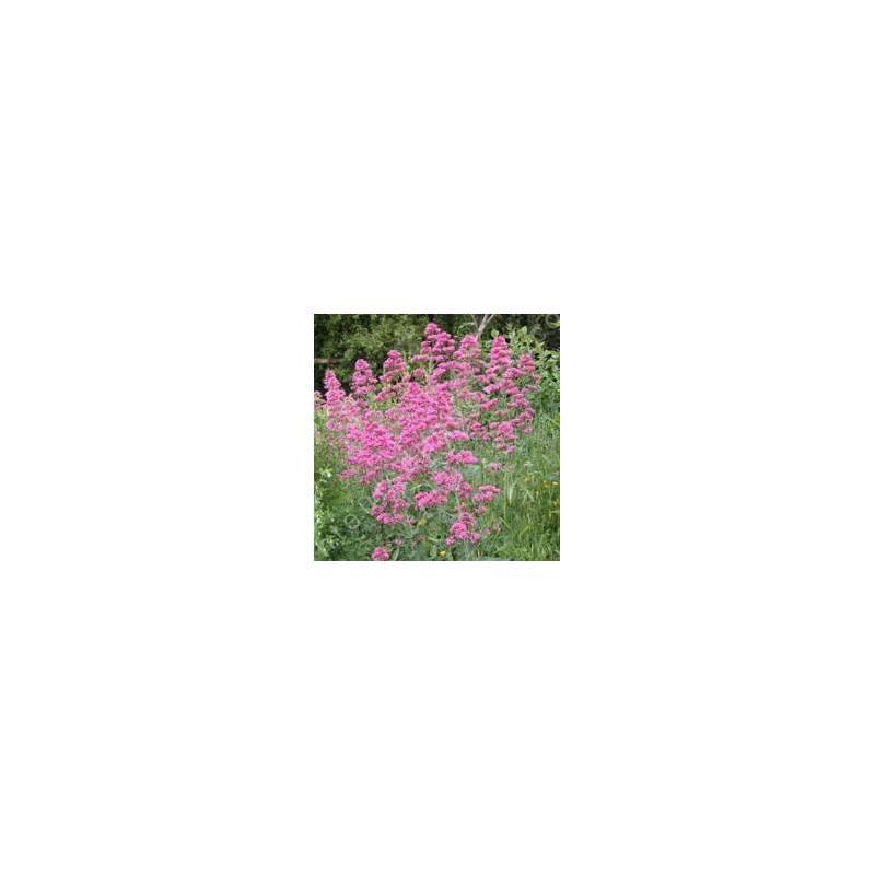 Centranthus ruber, Valeriane des murs, Lilas d'Espagne