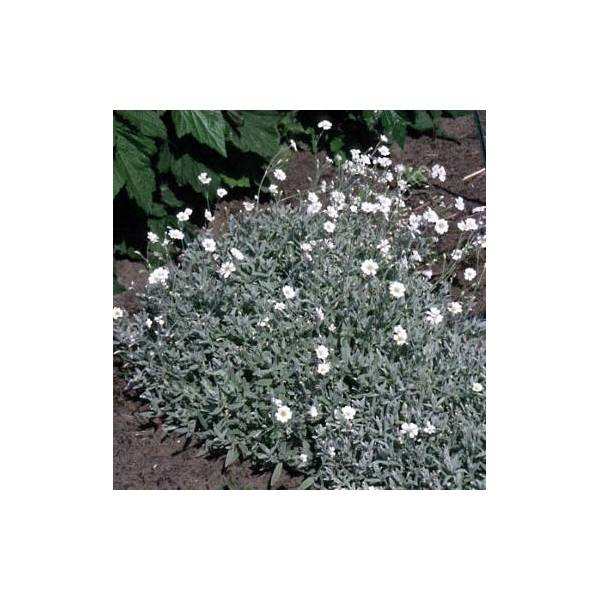 Cerastium tomentosum - Céraiste, Orielle de souris