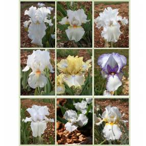 Collection d'iris blancs