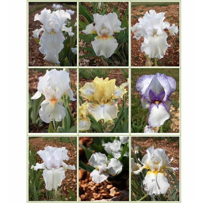 Collection d'iris blancs