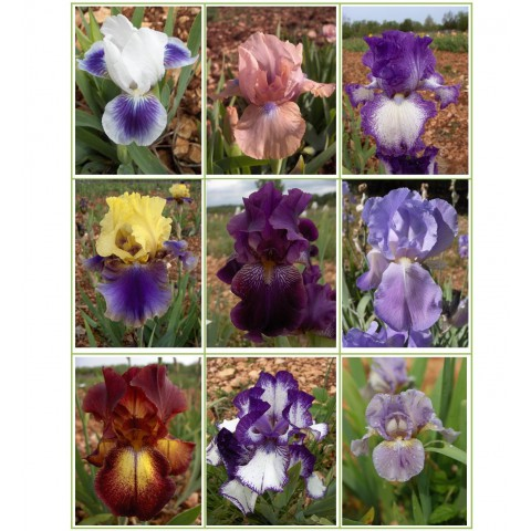 https://www.senteursduquercy.com/3361-thickbox/collection-d-iris-parfumes.jpg