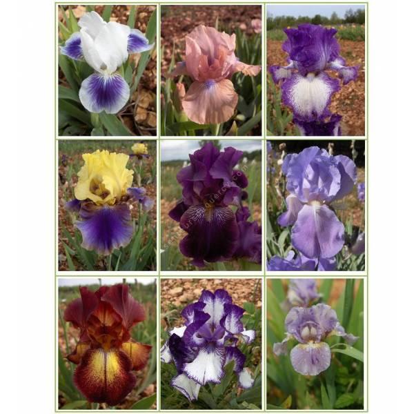 Collection d'iris parfumés