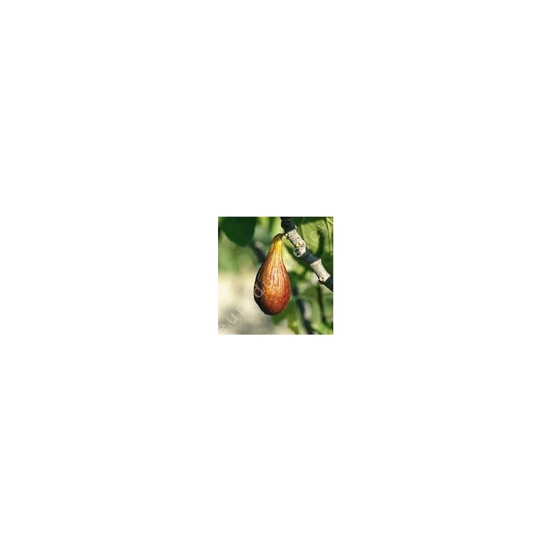 Figuier 'Brown Turkey' -  Ficus carica