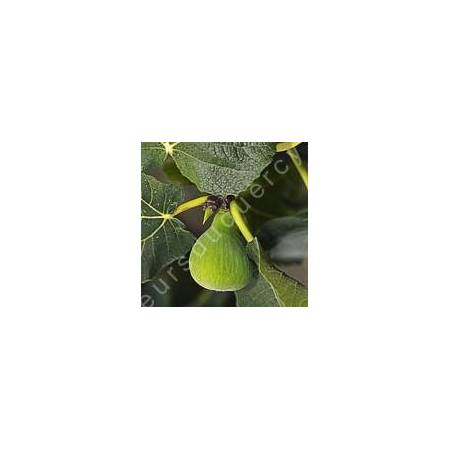 Figuier 'Col de Dame Blanc' - Ficus carica