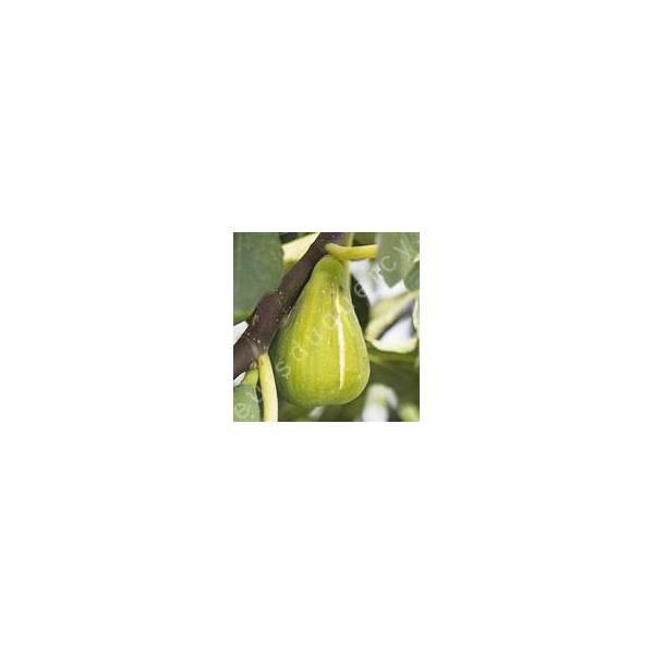 Figuier 'Dalmatie' - Ficus carica