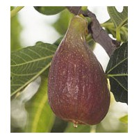 Figuier 'Dorée' - Ficus carica