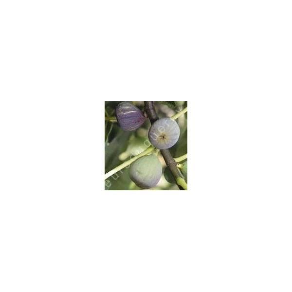 Figuier 'Grise de Saint-Jean' - Ficus carica