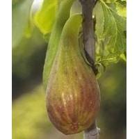Figuier 'Longue d'août' - Ficus carica