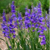 Penstemon strictus - Galane à fleur bleue