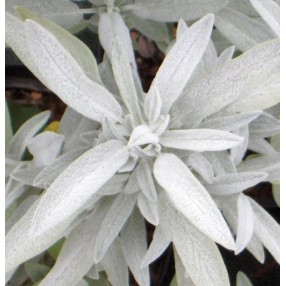 Salvia officinalis 'Nazareth' - Sauge officinale grise
