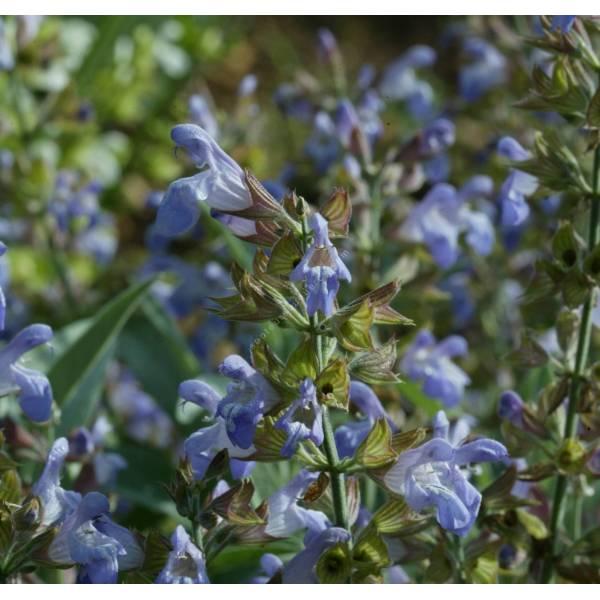 salvia officinalis 39 nazareth 39 sauge condimentaire plante aromatique. Black Bedroom Furniture Sets. Home Design Ideas