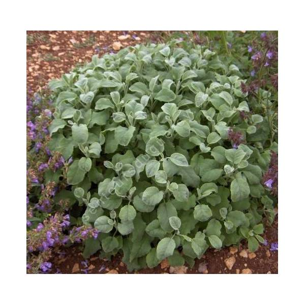Salvia officinalis 'Crispa' - Sauge officinale crispée