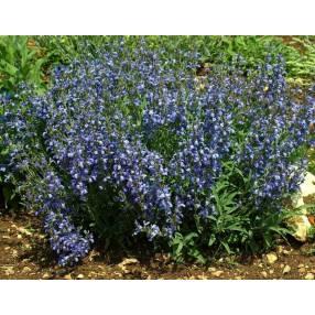 Salvia lavandulifolia - Sauge officinale à feuilles de lavandes