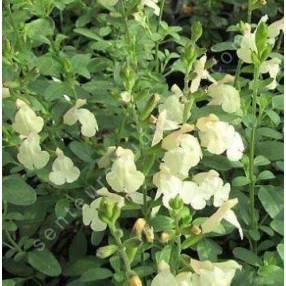 touffe de Salvia 'Cherbourg' - Sauge arbustive jaune