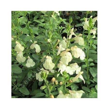 Salvia 'Cherbourg' - Sauge arbustive jaune