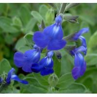 Salvia 'Bleu Armor' ® - Sauge arbustive bleue