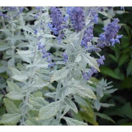 Perovskia abrotanoides 'Silvery Blue' - Lavande d'Afghanistan grise