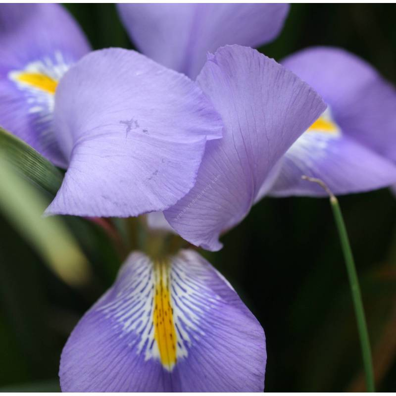 Iris unguicularis - Iris d'Alger