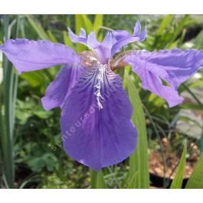 Iris tectorum - Iris des toitures