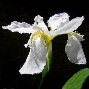 Iris tectorum 'Alba' - Iris des toitures blanc